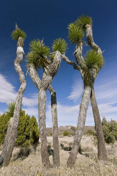 Yucca Palm Photograph - Joshua Trees (yucca Brevifolia) by Science Photo Library