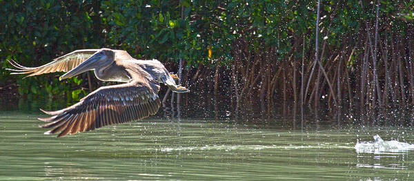 Brown Pelicans Wall Art - Photograph - Journey by Betsy Knapp