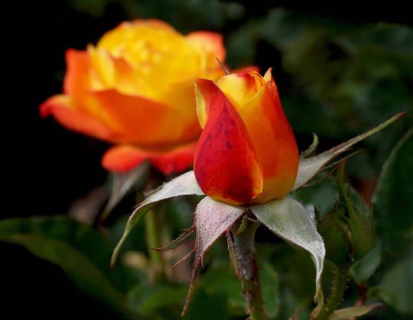 Photograph - Judy Garland Rose by Rona Black