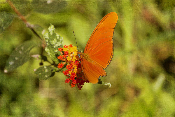 Photograph - Julia Butterfly And Lantana Flowers by Peggy Collins