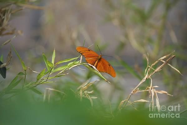 Photograph - Julia Butterfly by Joseph Yarbrough