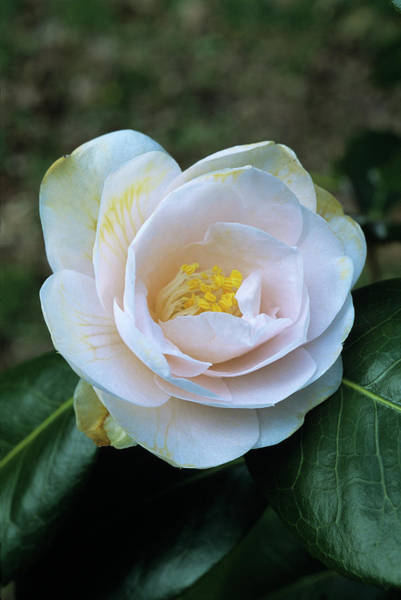 Japonica Photograph - Julia France Camellia Flower by Adrian Thomas/science Photo Library
