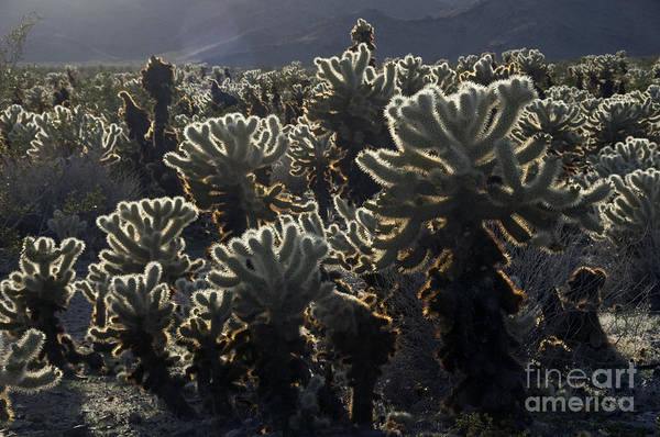 Cylindropuntia Bigelovii Photograph - Jumping Cholla by Mark Newman