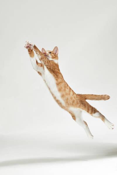 Ginger Cat Photograph - Jumping Kitten by Akimasa Harada