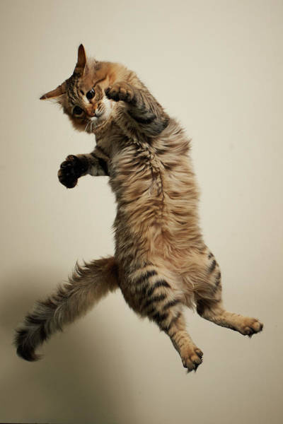 Long Hair Cat Photograph - Jumping Long-haired Tabby Cat by Akimasa Harada