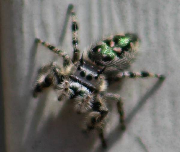Photograph - Jumping Spider by Candice Trimble