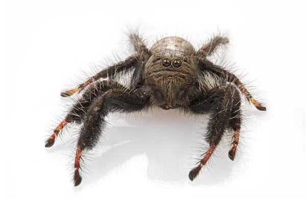 Photograph - Jumping Spider Gorongosa Mozambique by Piotr Naskrecki