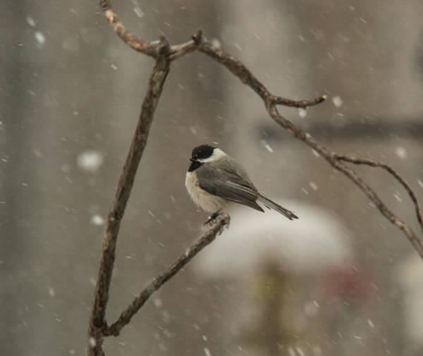 Dark Eyed Junco Photograph - Junco In The Snow by Douglas Barnett