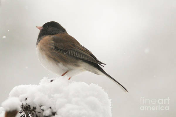 Dark Eyed Junco Photograph - Junco In The Snow by Sharon Talson