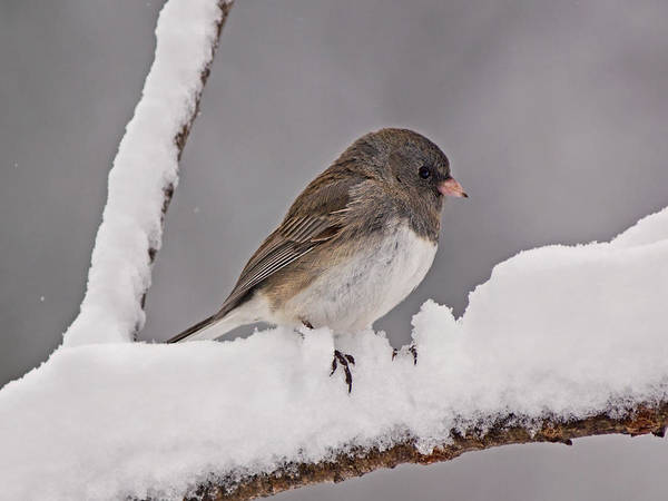 Photograph - Junco In The Snow by Theo OConnor