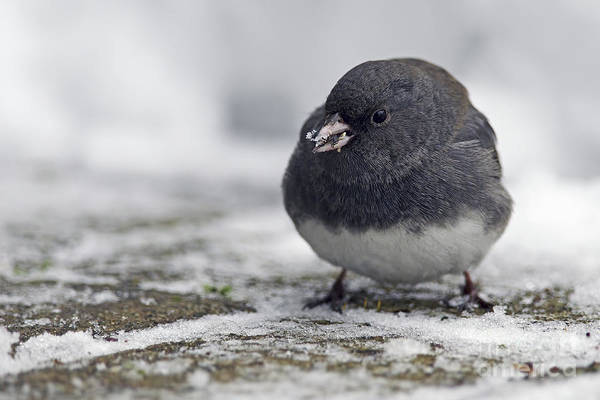 Dark Eyed Junco Photograph - Junco In The Snow With Seeds by Sharon Talson