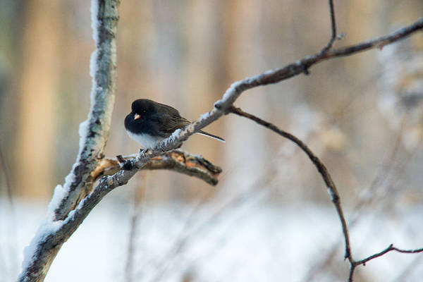 Dark Eyed Junco Photograph - Junco Shivering In Snow And Cold by Douglas Barnett