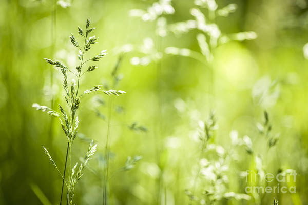 Photograph - June Grass Flowering by Elena Elisseeva
