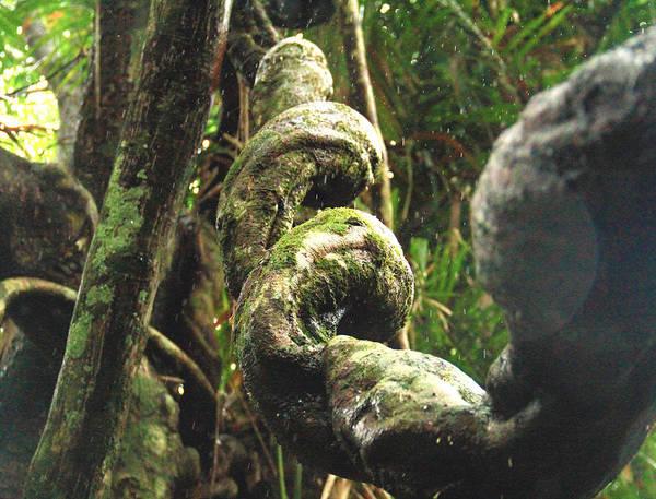 Photograph - Jungle Corkscrew Vines by Debbie Cundy