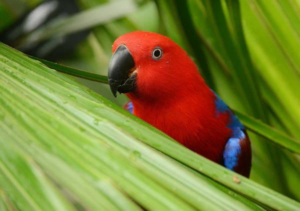 Eclectus Parrots Photograph - Jungle Mata Hari 2 by Fraida Gutovich