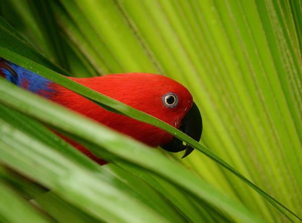 Eclectus Parrots Photograph - Jungle Mata Hari by Fraida Gutovich