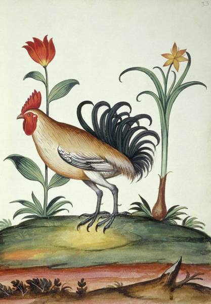 1850 Wall Art - Photograph - Junglefowl by Natural History Museum, London/science Photo Library