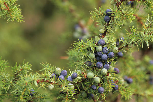 Juniper Berries Wall Art - Photograph - Juniper Berries by Duncan Shaw/science Photo Library