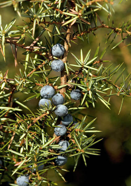 Juniper Berries Wall Art - Photograph - Juniper Berries (juniperus Communis) by Bob Gibbons/science Photo Library