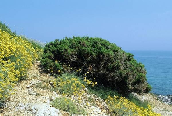 Juniper Photograph - Juniper (juniperus Phoenicea) by Bruno Petriglia/science Photo Library