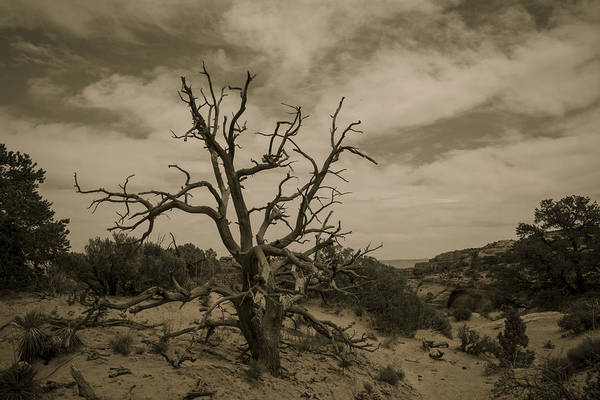 Photograph - Juniper Tree Utah by Jonathan Davison