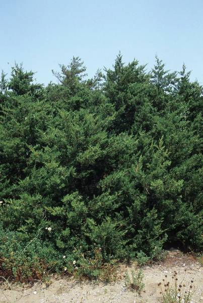 Juniper Photograph - Juniperus Phoenicea by Bruno Petriglia/science Photo Library