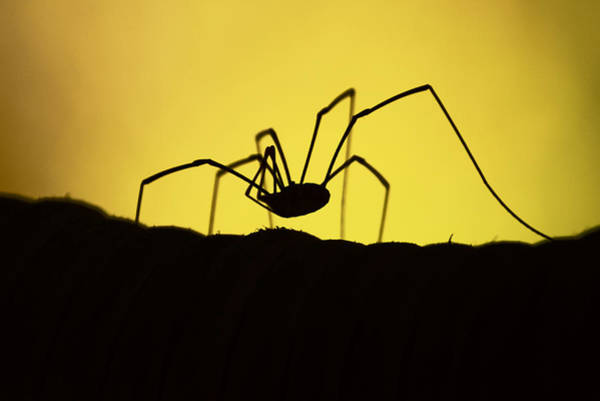 Harvestman Photograph - Just Creepy by Lori Tambakis