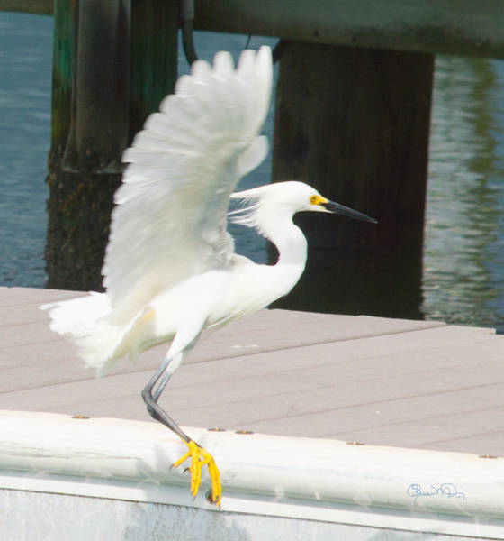 Just Birds Photograph - Just Dropping In by Susan Molnar