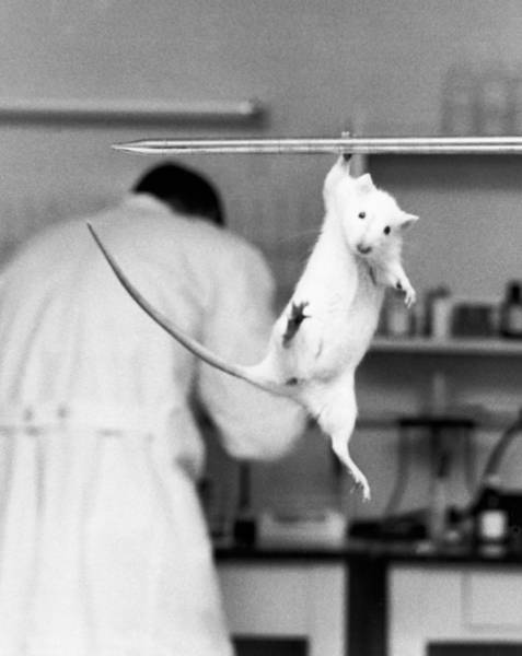 Animal Place Photograph - Just Hanging Lab Rat by Underwood Archives