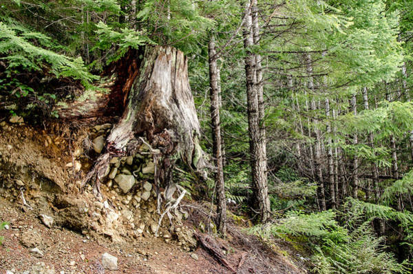 Just Hanging On Old Growth Forest Stump Art Print