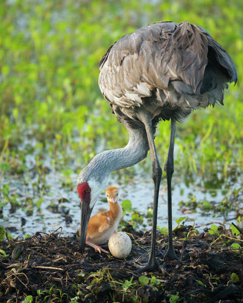 Birds Eggs Photograph - Just Hatched, Sandhill Crane Rotating by Maresa Pryor