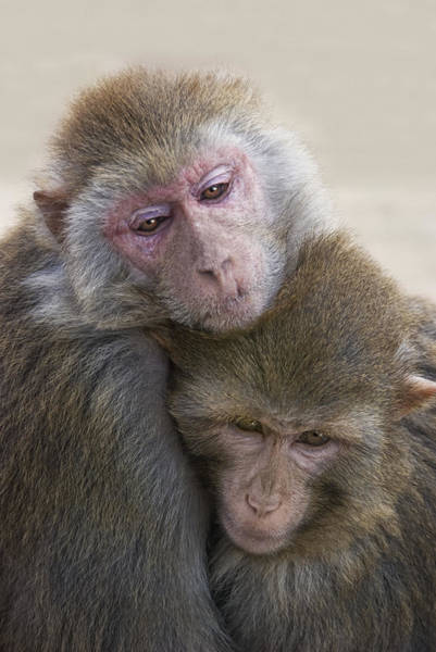 Monkey Wall Art - Photograph - Just Hold Me Now by Joachim G Pinkawa