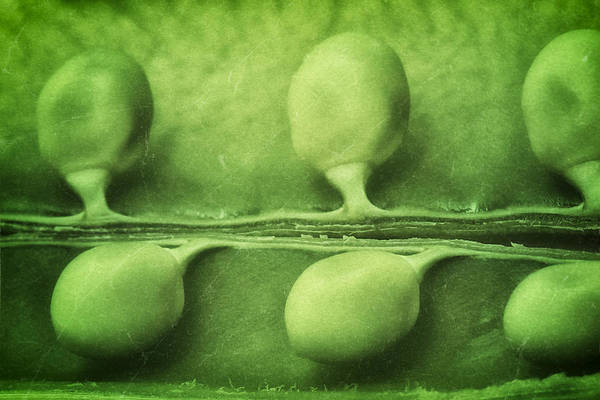Green Vegetable Photograph - Just Peas In A Pod by Tom Mc Nemar