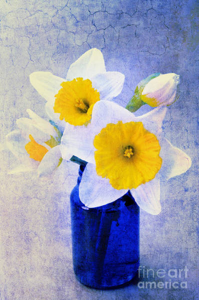 Photograph - Just Plain Daffy 2 In Blue - Flora - Spring - Daffodil - Narcissus - Jonquil  by Andee Design