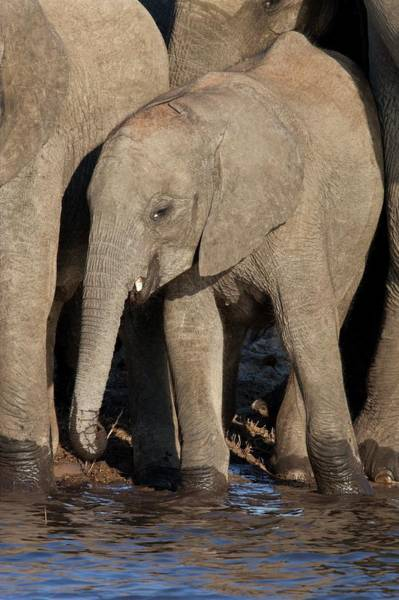 Wall Art - Photograph - Juvenile African Elephant by Steve Allen/science Photo Library