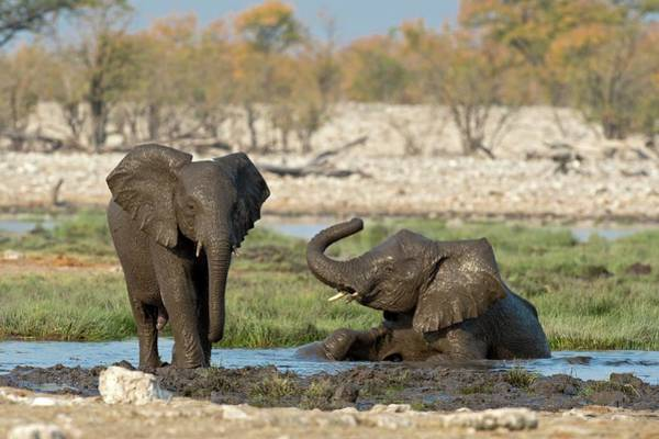 African Elephant Photograph - Juvenile African Elephants At Play by Tony Camacho