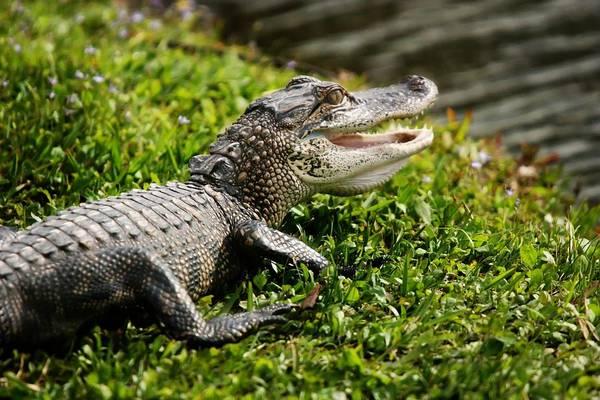 Alligator Alley Photograph - Juvenile Alligator by Regina  Williams