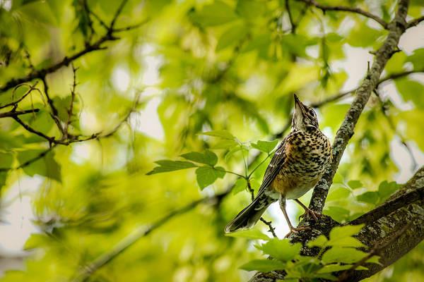 Photograph - Juvenile American Robin by  Onyonet  Photo Studios