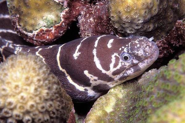 Wall Art - Photograph - Juvenile Atlantic Chain Moray Eel by Clay Coleman/science Photo Library