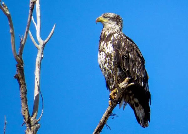 Photograph - Juvenile Bald Eagle by Dawn Key