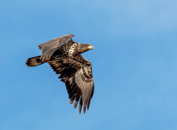 Wall Art - Photograph - Juvenile Bald Eagle In Flight by Dawn Key