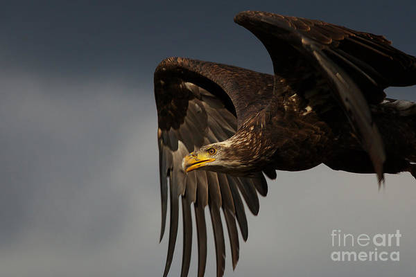 Photograph - Juvenile Bald Eagle In Flight by Nick  Biemans