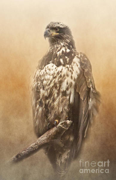 Photograph - Juvenile Bald Eagle by Pam  Holdsworth