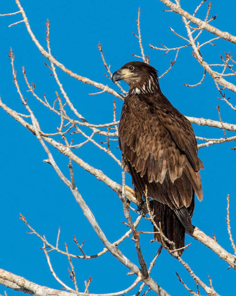 Wall Art - Photograph - Juvenile Bald Eagle Perched. by Dawn Key