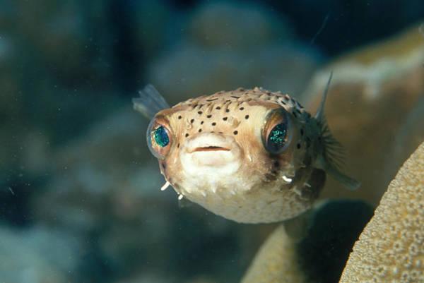 Diodon Photograph - Juvenile Balloonfish by Charles Angelo