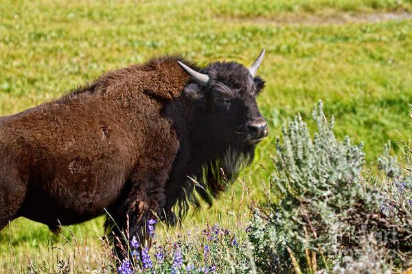 Photograph - Juvenile Bison by Stuart Gordon