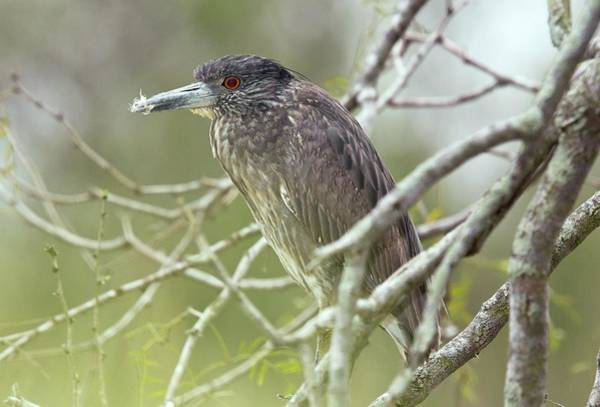 Night-heron Photograph - Juvenile Black-crowned Night Heron by Bob Gibbons/science Photo Library
