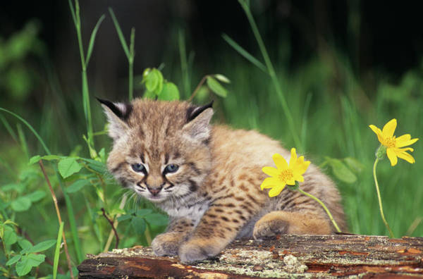 Wall Art - Photograph - Juvenile Bobcat Sitting On Log Lynx by Animal Images