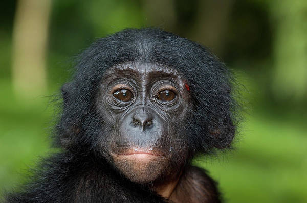 Wall Art - Photograph - Juvenile Bonobo Ape by Tony Camacho/science Photo Library