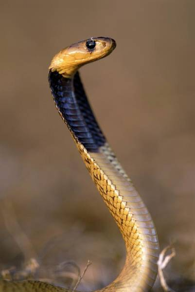 Wall Art - Photograph - Juvenile Cape Cobra by Peter Chadwick/science Photo Library